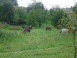 Konie - Wierzchowie