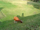 Krowa pod wałem